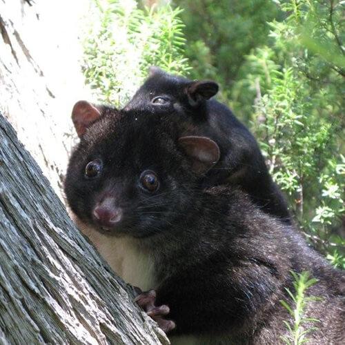square-possum